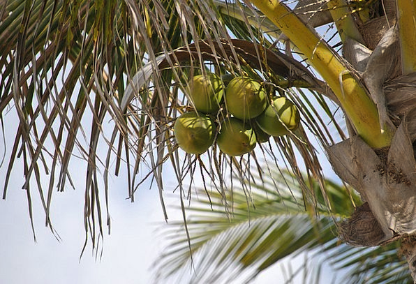 Coconut Tree Landscapes Nature Palm Tribute Coconu
