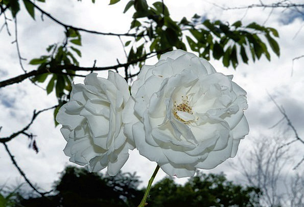 Roses Designs Plants White Snowy Flowers Beauty Lo