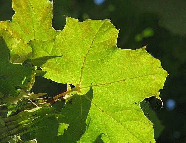 Maple Landscapes Nature Green Lime Maple Leaf Leav