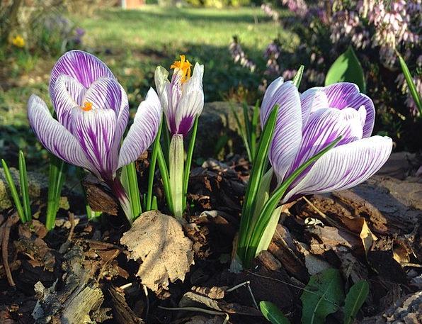 Crocus Spring Coil Early Bloomer Harbinger Of Spri