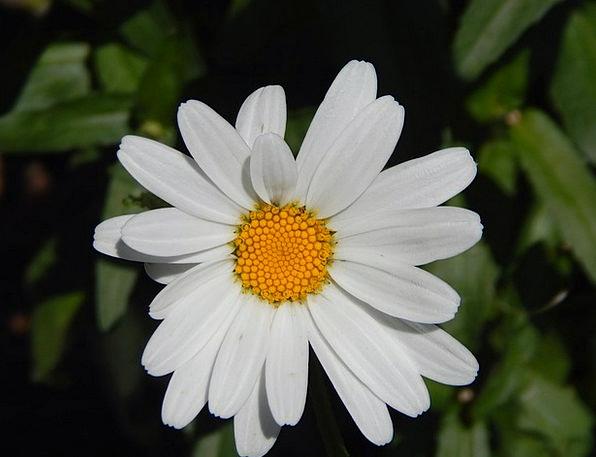 Daisy Landscapes Floret Nature Garden Plot Flower
