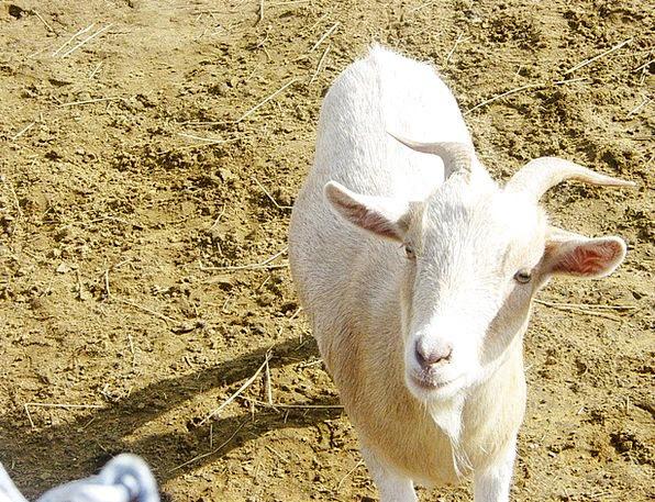 Goats Snowy Animals Faunae White Portrait Mammal C