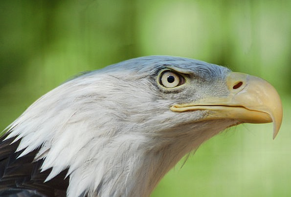 Bald Eagle Bird Fowl Eagle Beak Nature Countryside