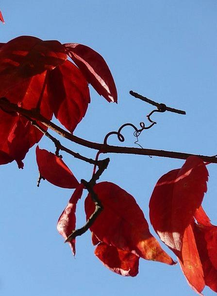 Vine Creeper Landscapes Nature Autumn Fall Wine Pa