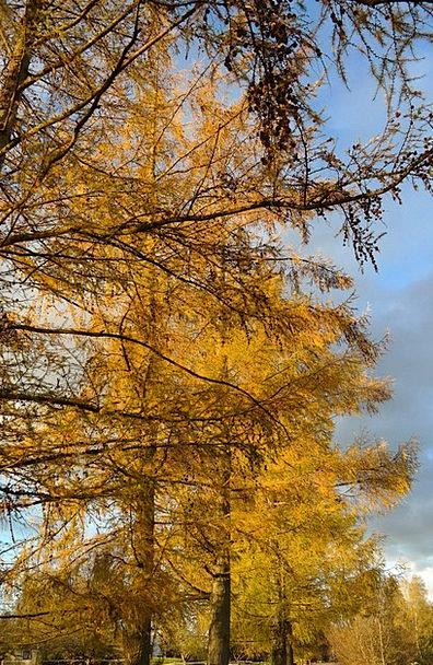 European Larch Sapling Larch Tree Larch Discolorat