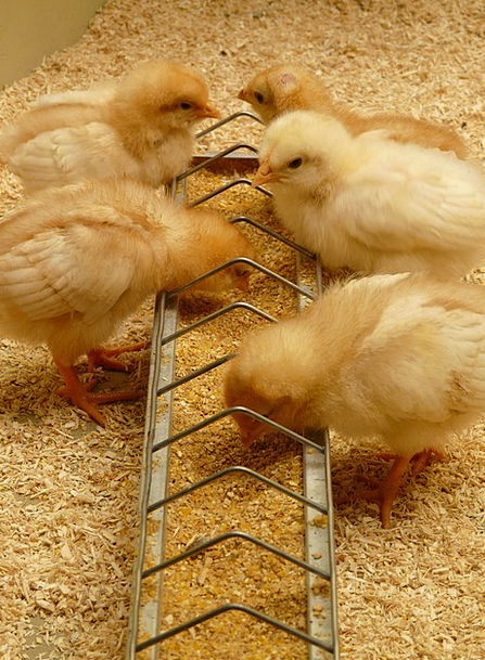 Chicks Cowards Hatched Shaded Chickens Eat Young A