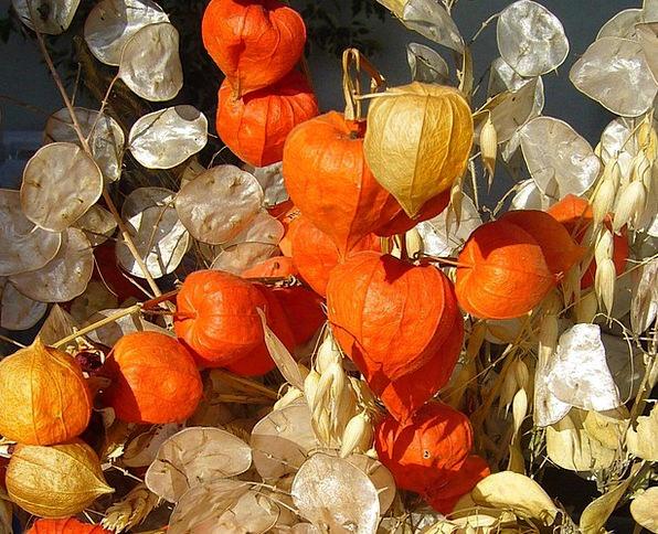 Honesty Uprightness Autumn Physalis Fall Reduction