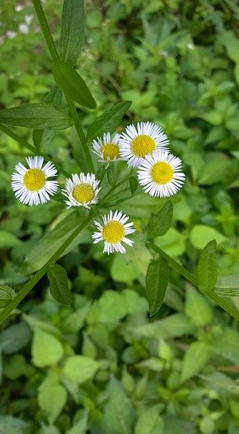 Chrysanthemum The Wild Little Flower