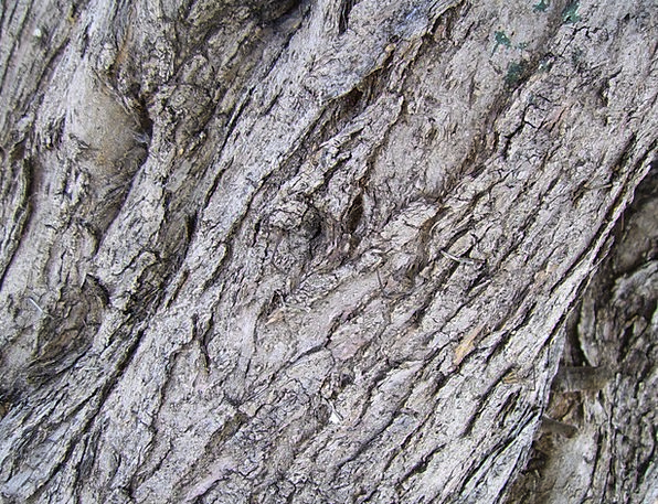 Tree Bark Textures Backgrounds Tree Trunk Olive Tr