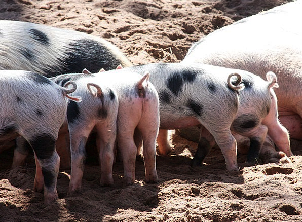 Animal Physical Cattle Piglet Pigs Pet Domesticate