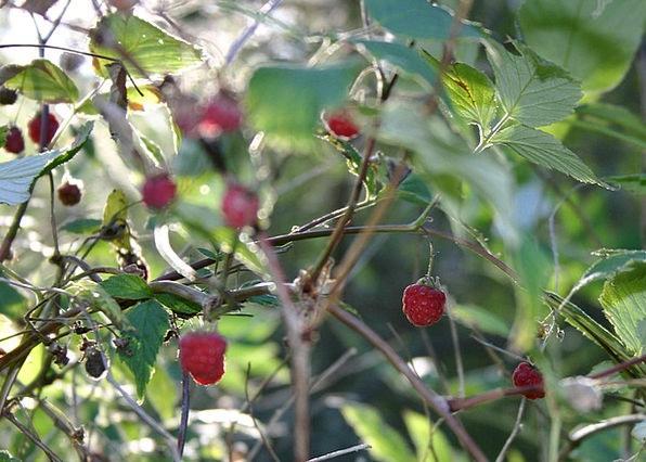 Berries Drink Food Summer Straw-hat Wild Berry Rip
