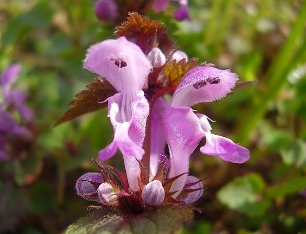 Lion'S Mouth Floret Purple Flower Flower Flowers P