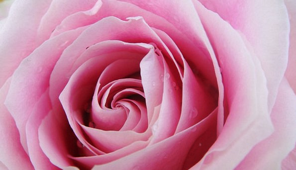 Pink Flushed Design Flower Floret Rose Love Close
