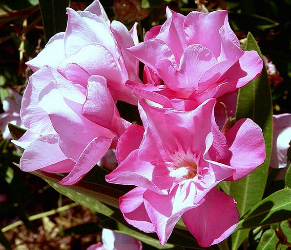Flowers Florae Petal Plants Pink Garden Plot Botan