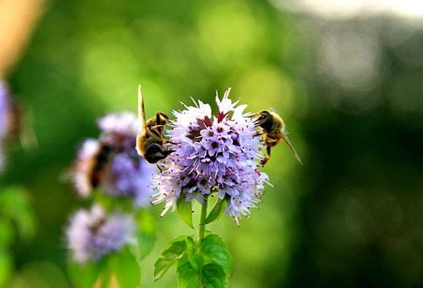 Jacob'S Ladder Plants Purple Elaborate Flowers Bee