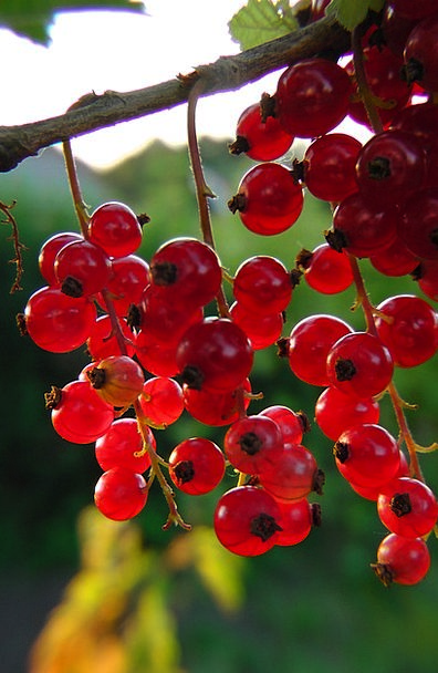 Currants Bloodshot Berries Red Plot Conspiracy Sof
