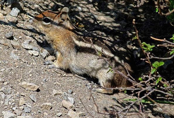 Chipmunk Collector Striped Barred Squirrel Nature