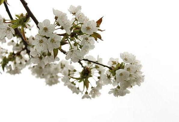 Cherry Pink Landscapes Floret Nature Spring Coil F