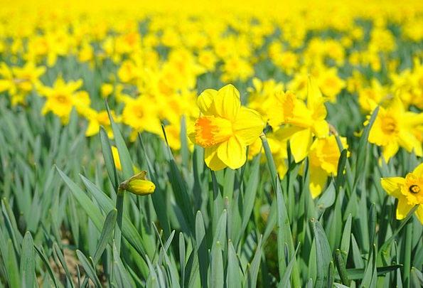 Daffodil Flower Floret Nazisse Garden Culture Yell