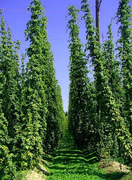 Hop Vines Flights Hop Garden Hops Holledau Green H