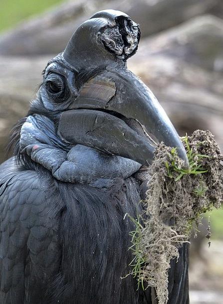 Abyssinian Ground Hornbill Fowl Bucorvus Abyssinic