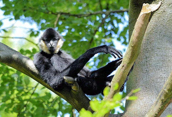 Gibbon Ape Chimpanzee Monkey Wilderness Primate Ar
