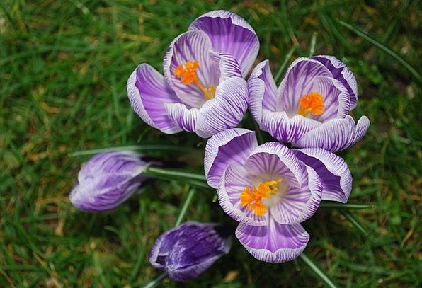 Crocuses Landscapes Elaborate Nature Flower Floret