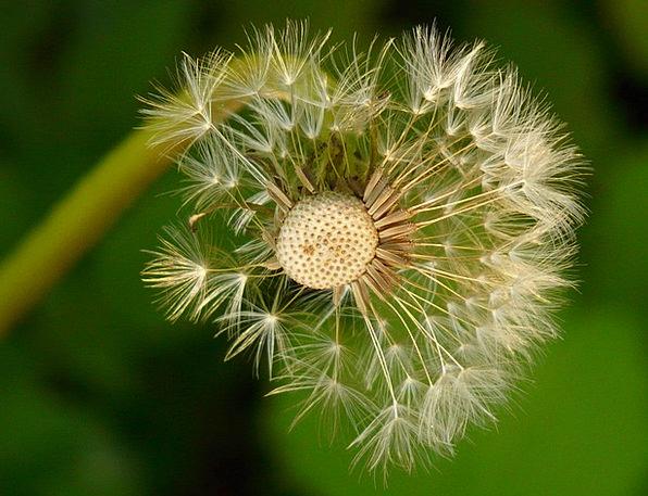 Dandelion Kernels Flower Floret Seeds Meadow Field