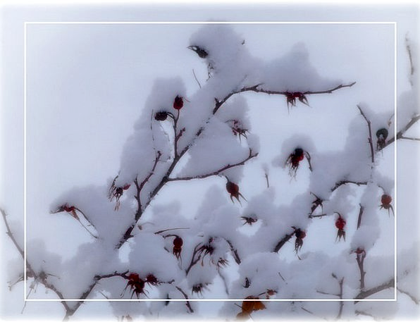 Rose Hips Landscapes Season Nature Snow Snowflake