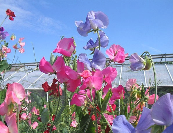 The Valleys Flowers Plants Sweet Pea Summer Straw-