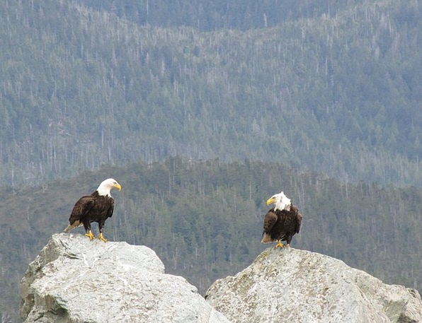 Bald Bare Pair Eagles Looking Birds Natures Each O