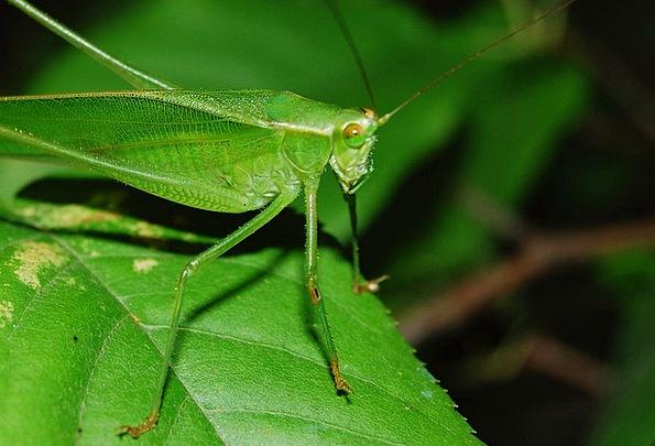 Cricket Locust Grasshopper Hopper Insect Animal Bu