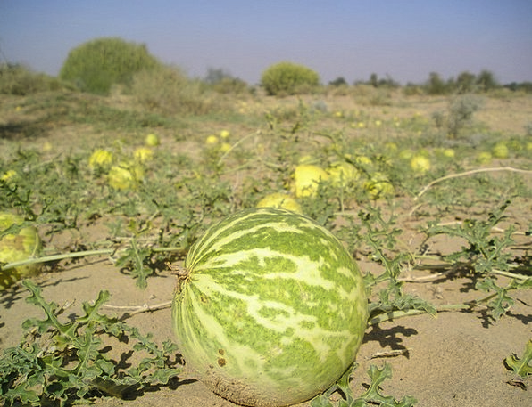 India Reward Sand Shingle Desert Melon Bitter Bitt