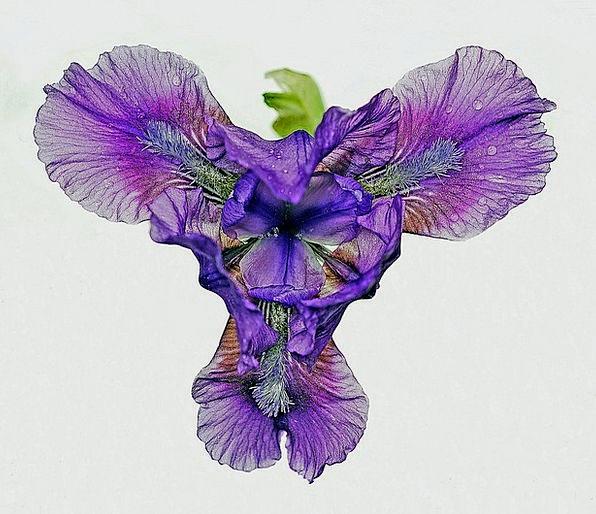 Iris Landscapes Floret Nature Floral Flowery Flowe