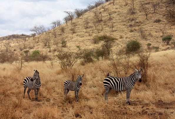 Zebra Physical Family Domestic Animal Explore Wild