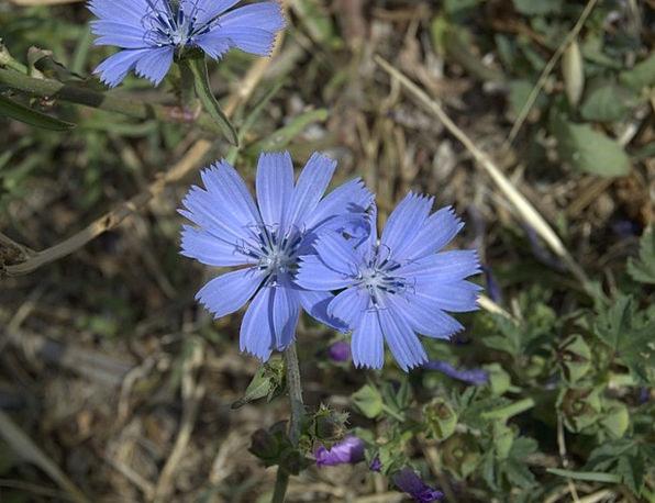 Common Chicory Landscapes Floret Nature Blue Azure