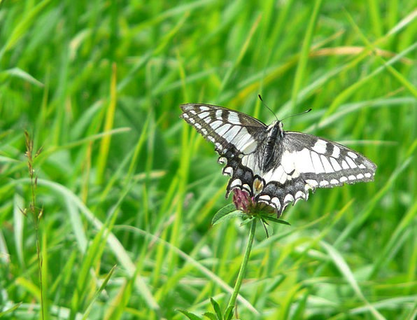 Dovetail Merge Swallowtail Butterflies Butterfly P