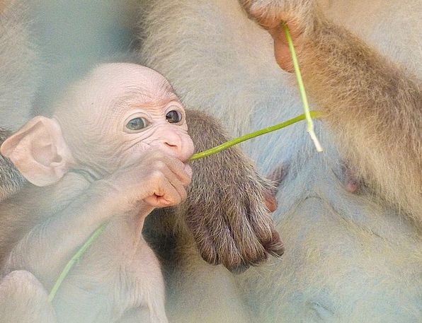 Baby Darling Ape Love Monkey