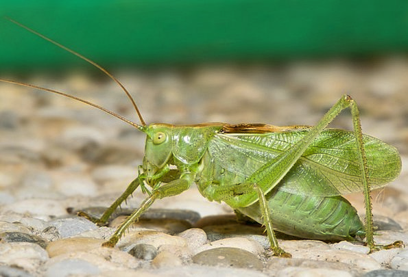 Katydid Insect Grasshopper Bug Germ Macro Nature I