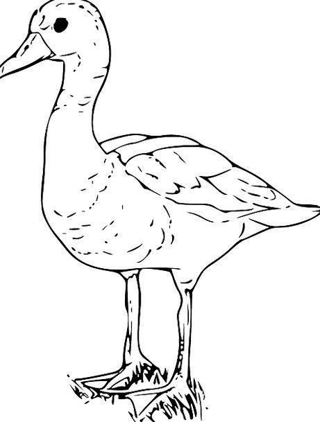 Duck Stoop Snowy Goose White Free Vector Graphics