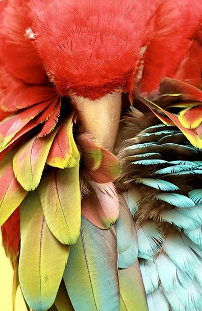 Parrot Imitator Asleep Bird Fowl Sleeping Animal P