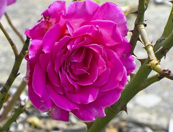 Rose Design Landscapes Flushed Nature Thorn Prickl
