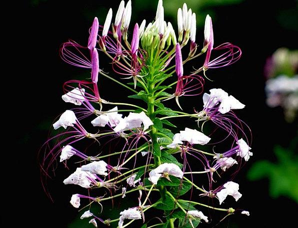 Cleome Hassleriana Spider Plant Spider Flower Cleo