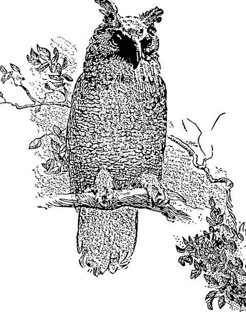 Owl Fowl Perched Balanced Bird Branch Division Fre