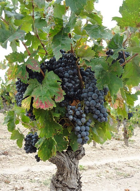 Vines Creepers Mauve France Wine Clusters Wines Vi