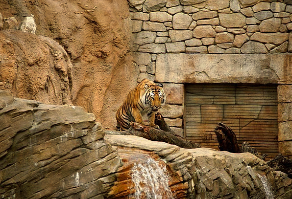 Tiger Menagerie Compound Multiple Zoo Wilderness E