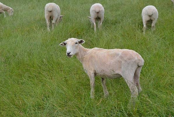 Sheep Ewe Angora Green Lime Wool Grass Lawn New Ze