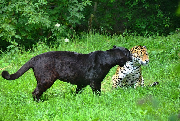 panter black dark leopard spotted dotted animals f