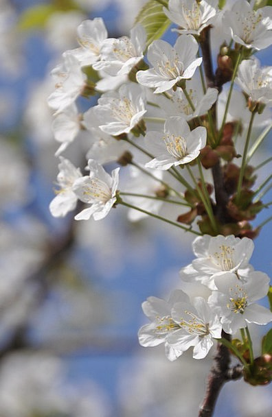 Cherry Blossom Coil Twig Stick Spring White Snowy
