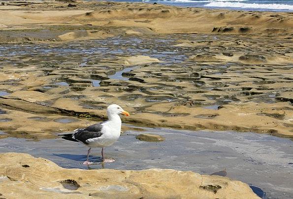 Seagull Tidal Pool Encinitas Bird Fowl Shore Ocean